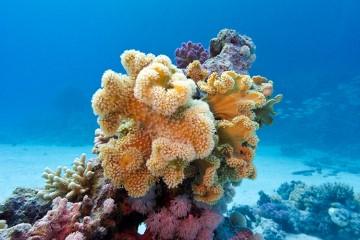 Colônias de corais