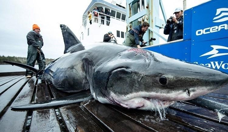 Tubarões Branco